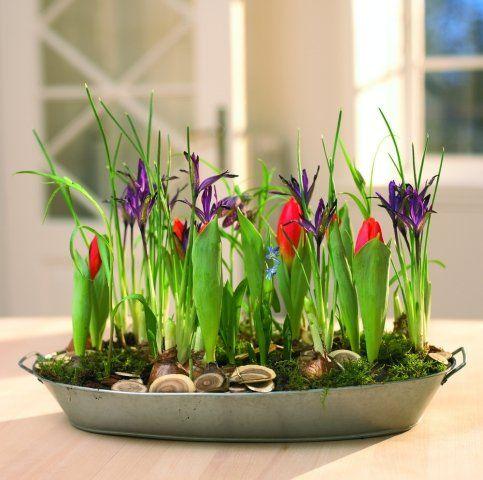 Tulips Spring Onion Flowers Tulipany Wiosenne Cebulowe Kwiaty Doniczkowe Garden Bulbs Plants Garden