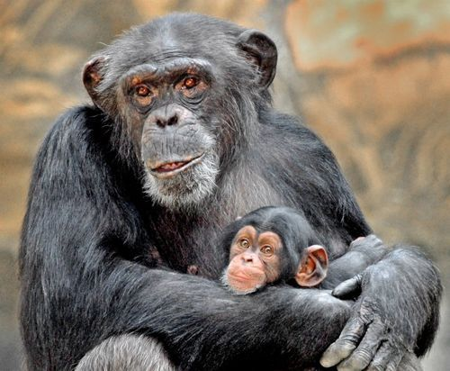 New Baby Chimp For Los Angeles Zoo Baby Chimpanzee Chimpanzee Baby Animals Pictures
