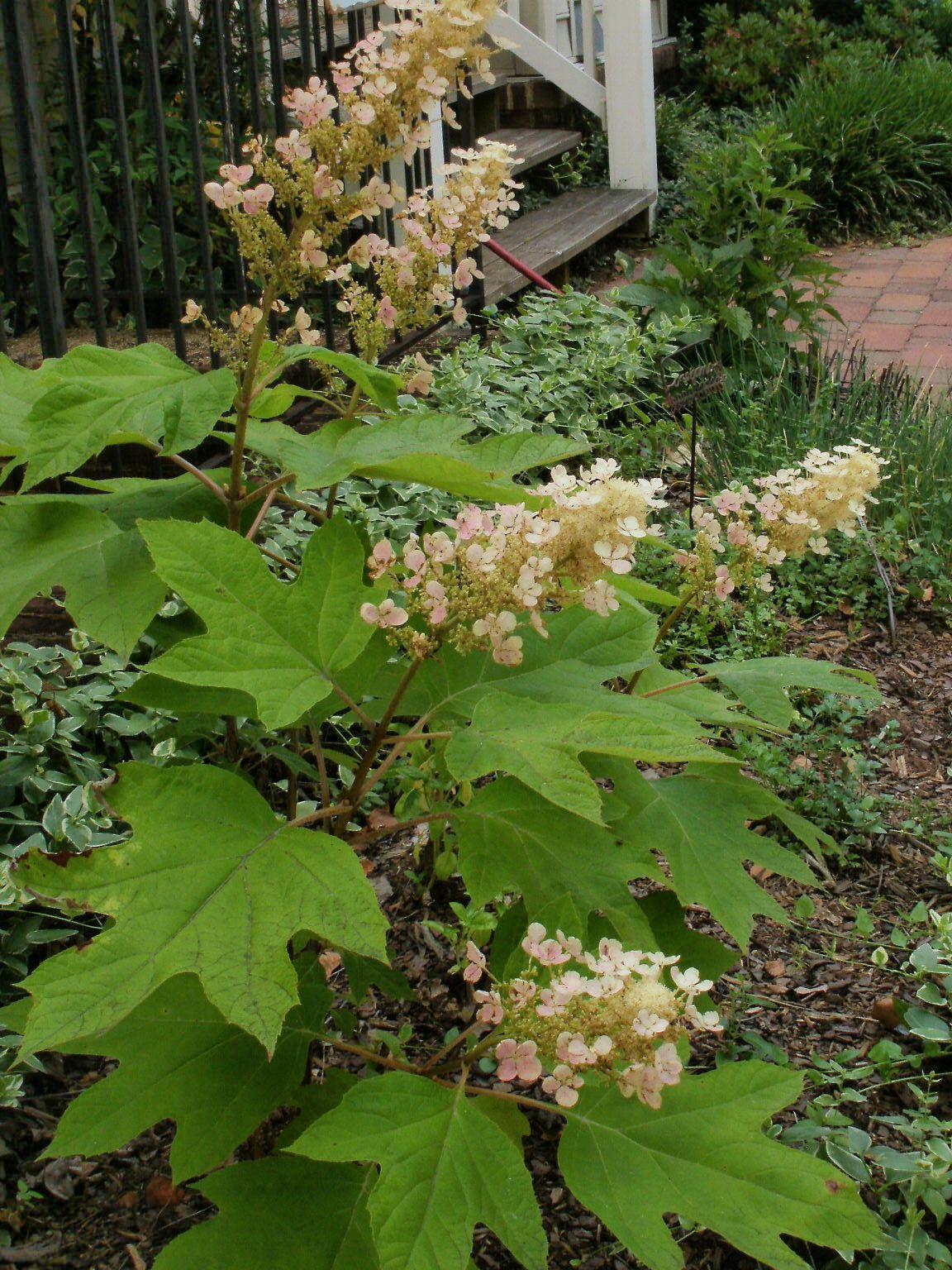 Oakleaf hydrangea oakleaf hydrangea wildflower garden