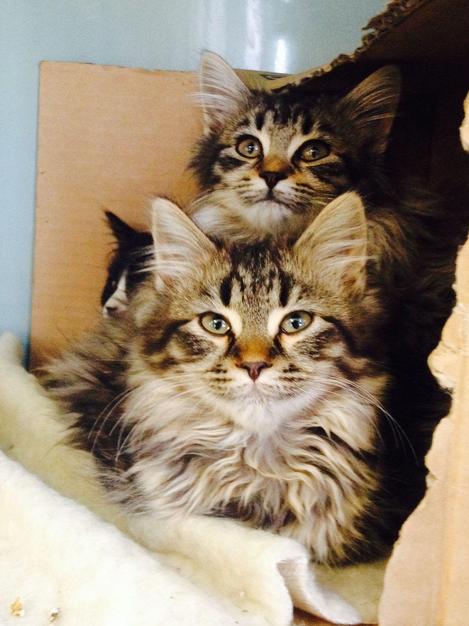 Kittens for adoption Kitten adoption, Cute animals, Animals