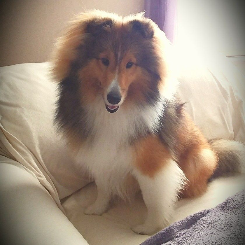 Bailey just turned 8 months! Sheltie puppy, Collie dog