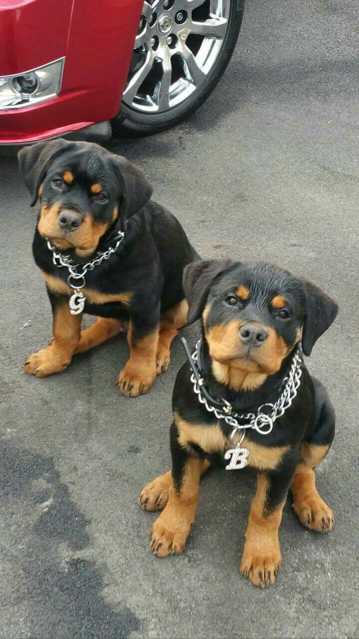 Bruh These Gon Be My Pups One Day Lol My Pets Gon Have Gold