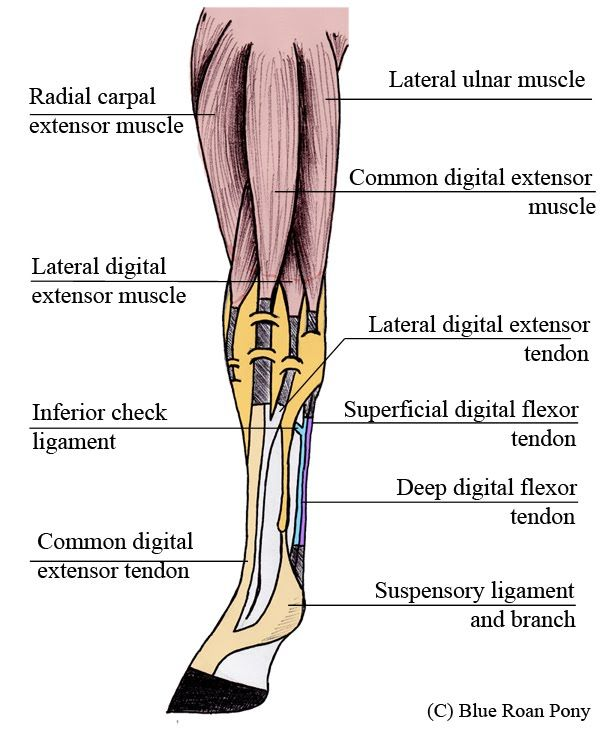 Horse Anatomy Muscles And Tendons Saferbrowser Yahoo Image Search