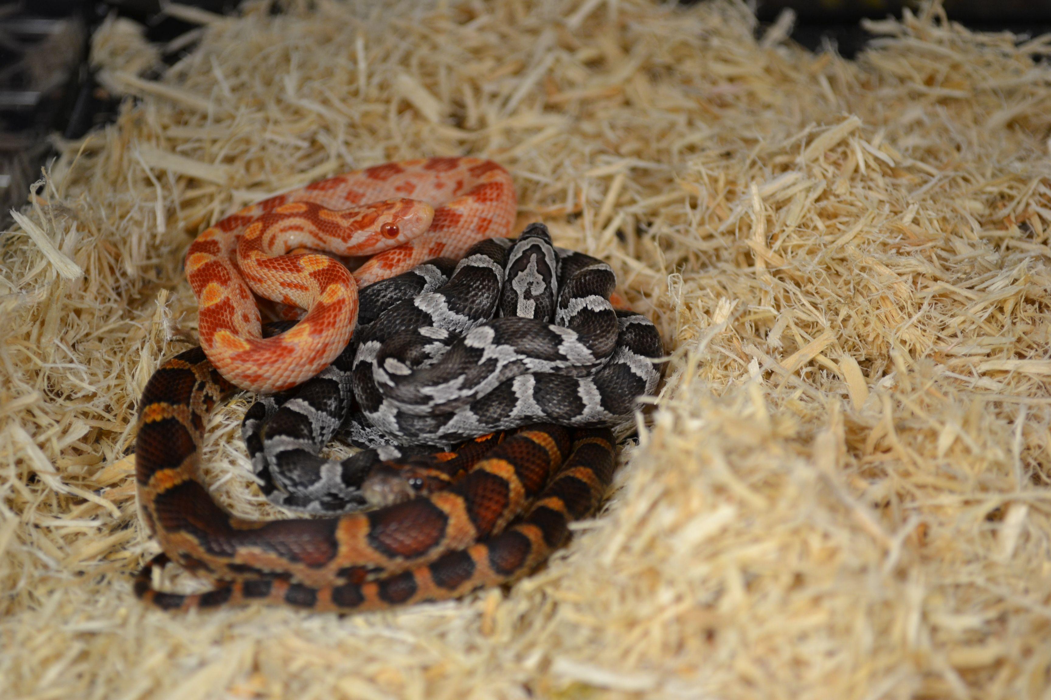 Baby Corn Snakes Corn Snake Corn Snakes For Sale Snake