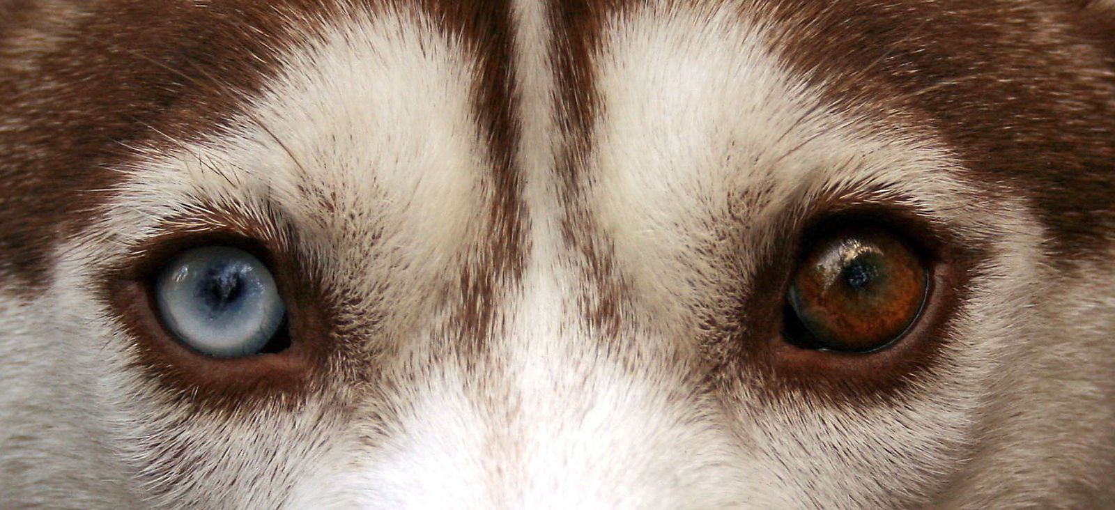 Home Page Of Petchester Veterinary Husky Eyes Siberian Husky Husky