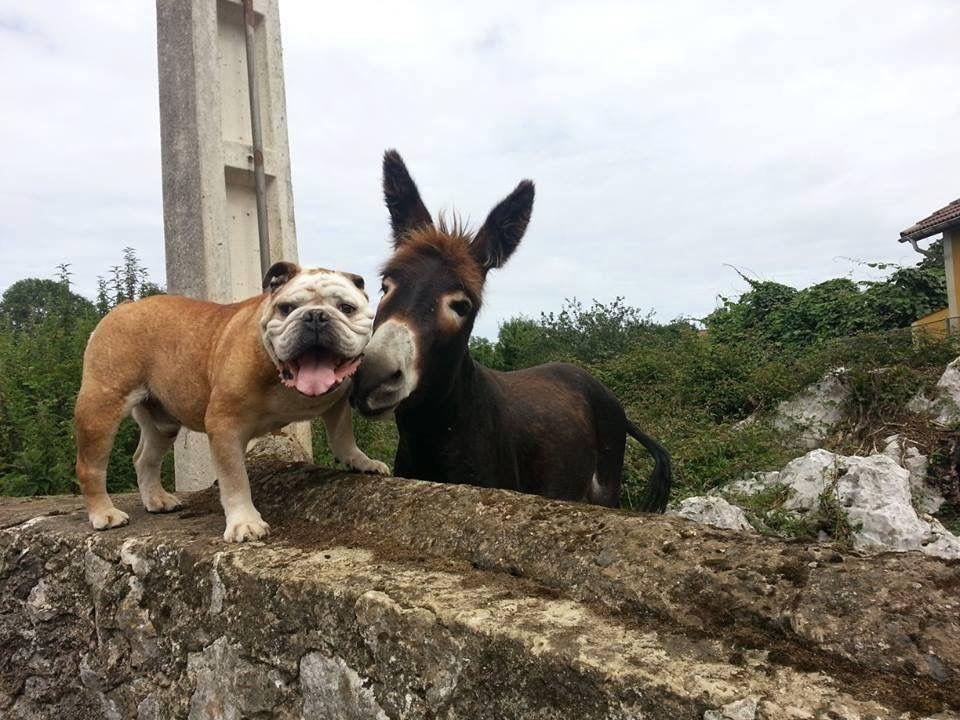 Pin By Pamela Muir On British Bulldogs Bulldog Puppies Blue