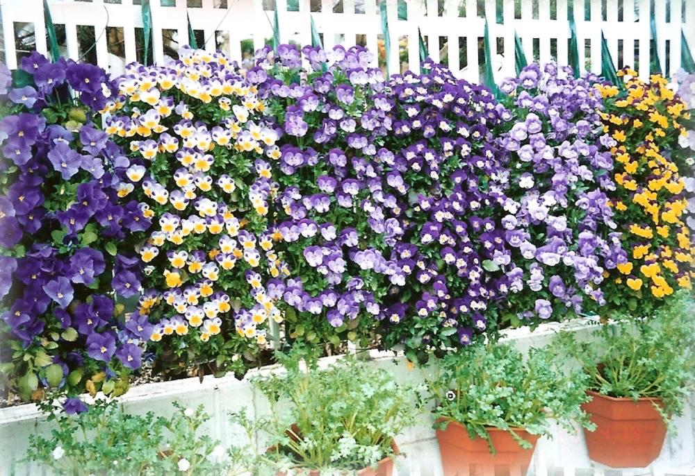 виола рококо выращивание из семян в домашних