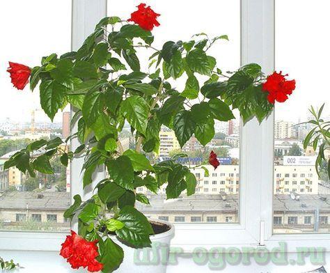 Китайская роза или Гибискус (цветок смерти): уход в ...