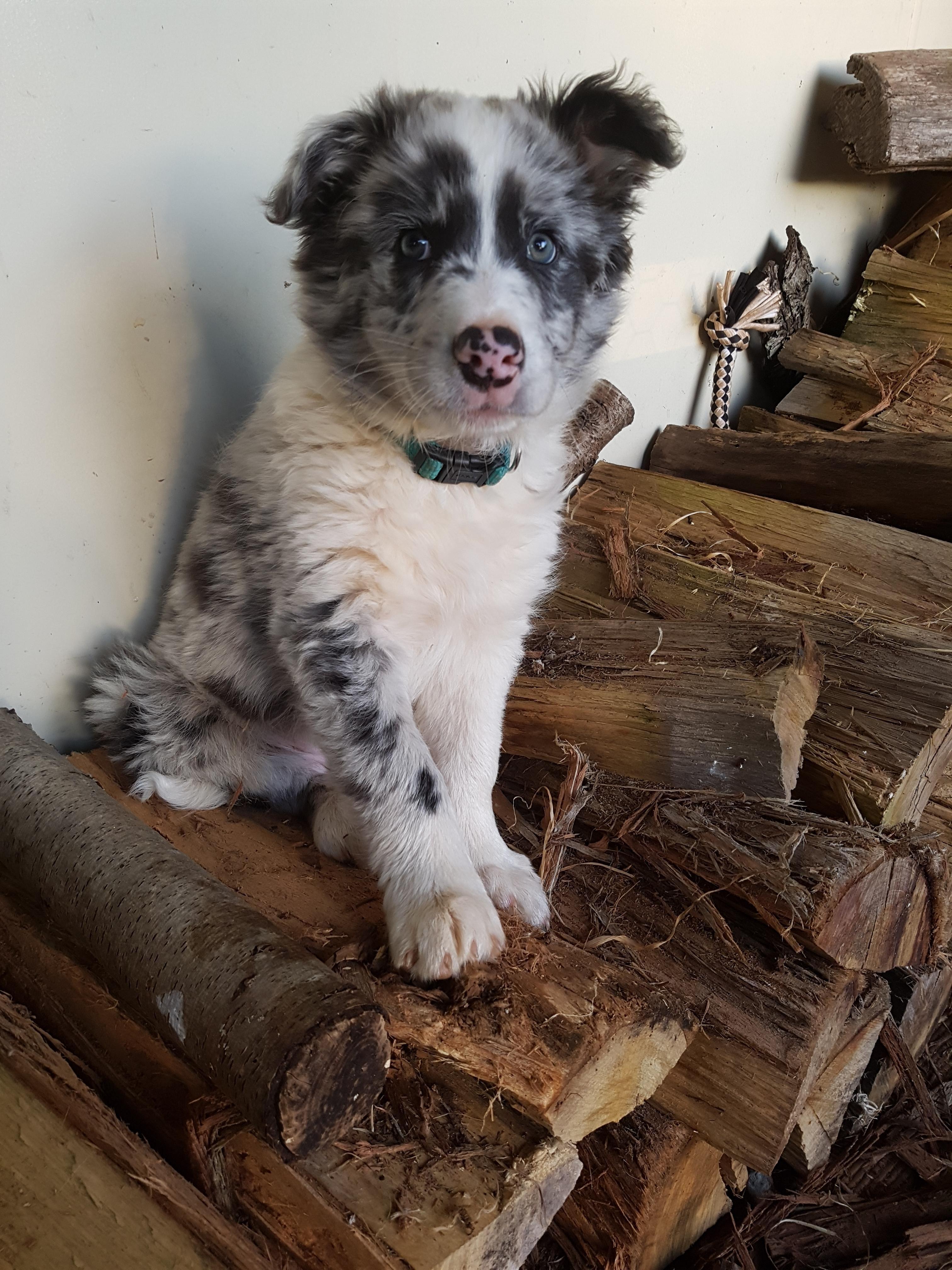 My Blue Merle Border Collie Pup Kip Http Ift Tt 2tdtpzp Border Collie Puppies Collie Puppies For Sale Border Collie