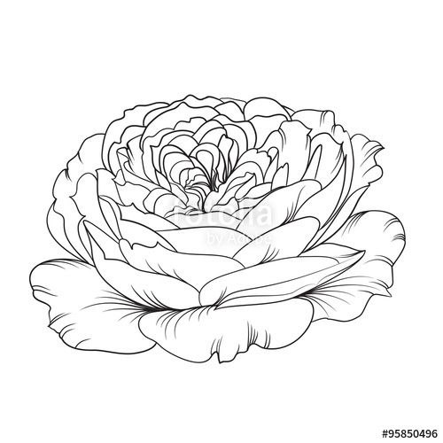 Vector Silhouette Of Rose Drawings Illustration Botanical