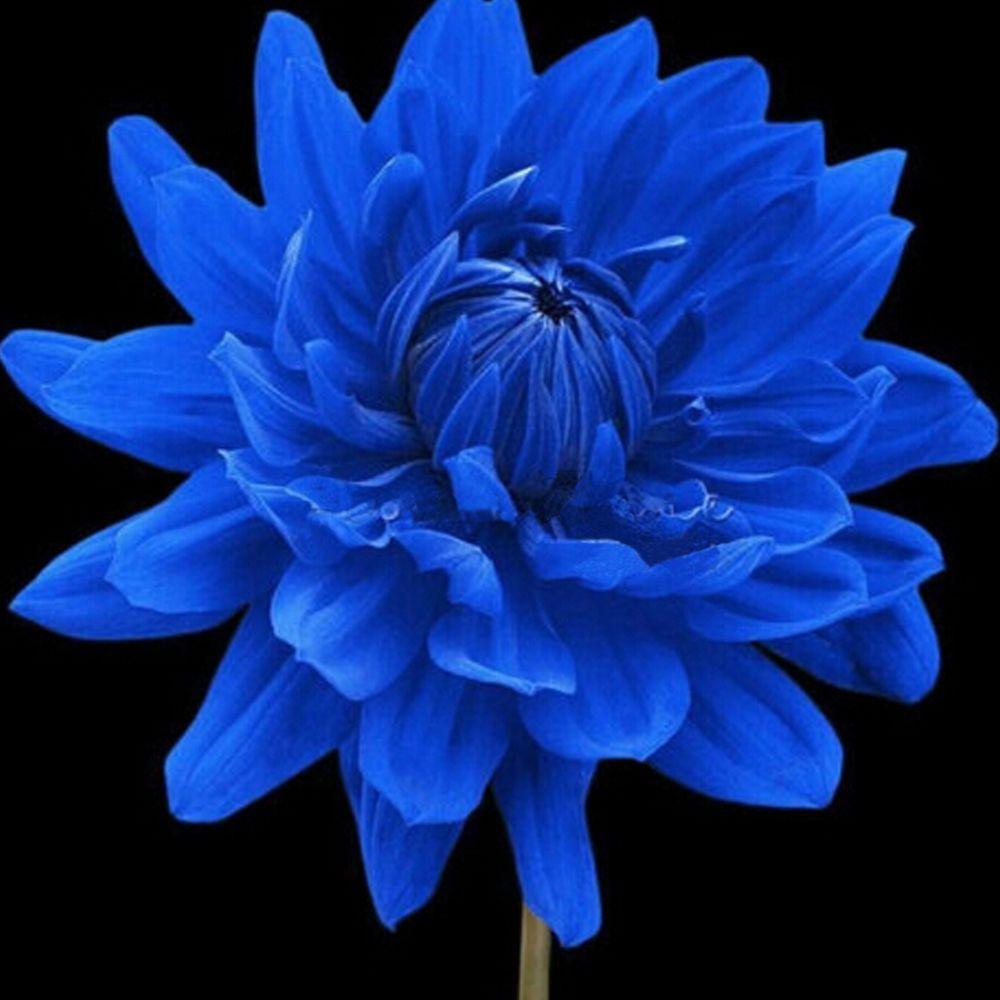 Rare blue dahlia annual flower seeds home garden diy indoor plants rare blue dahlia annual flower seeds home garden diy indoor plants decoration izmirmasajfo