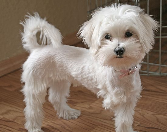 Gallery For Maltipoo Haircut Pictures