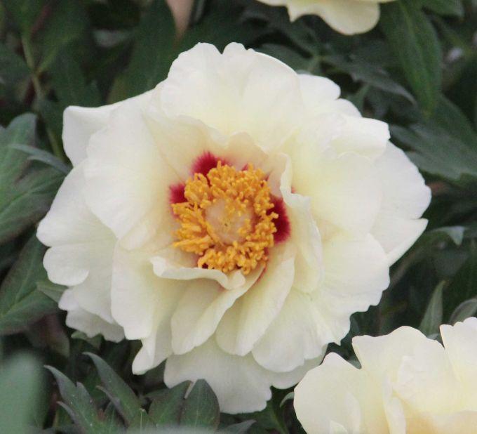 Oukon japanese tree peony glorious white flower with yellow oukon japanese tree peony glorious white flower with yellow stamens and red petal bases mightylinksfo
