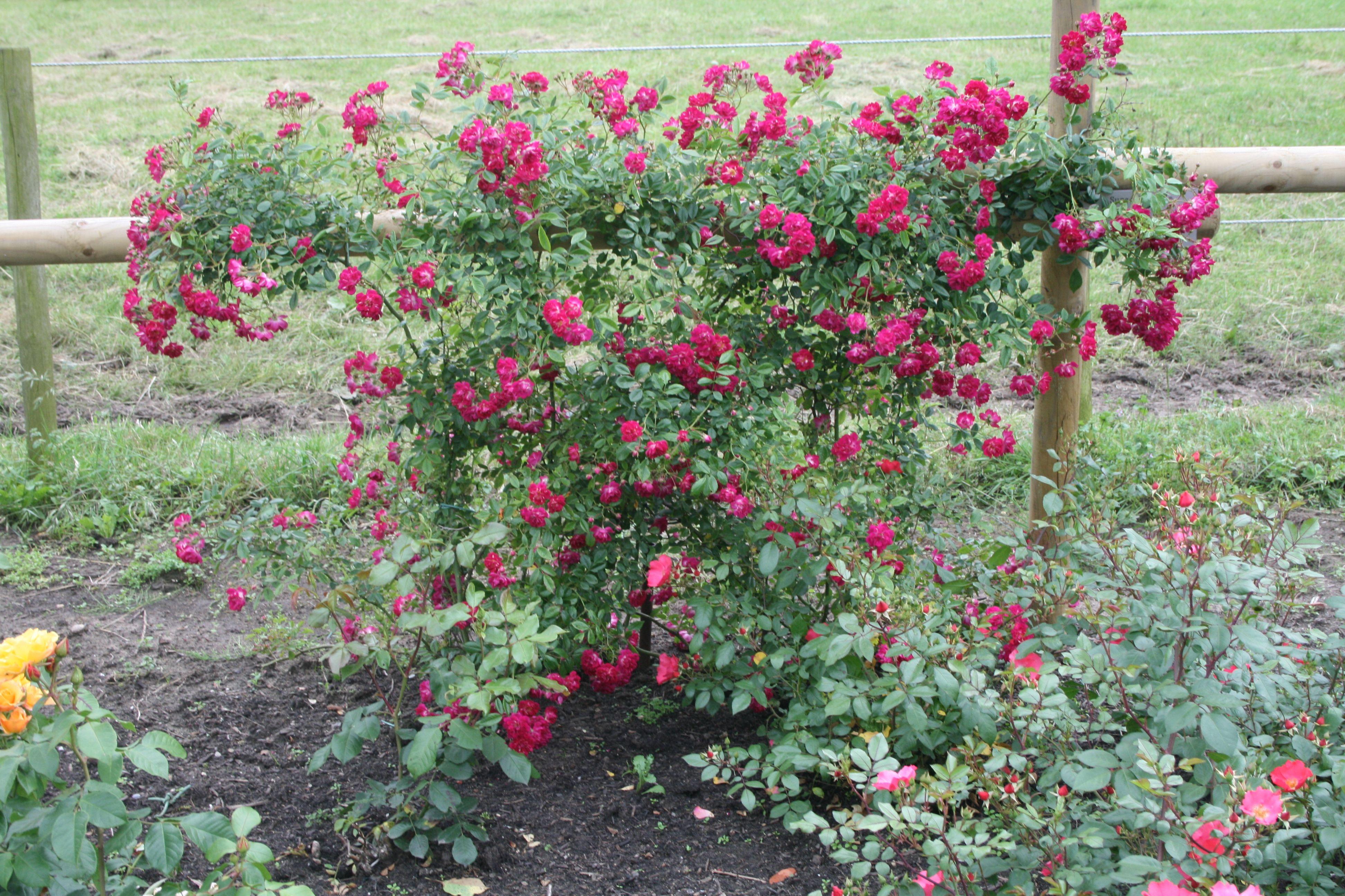 Rose Dortmund Lottum Rosenhof Rosensorten Rosengarten Garten