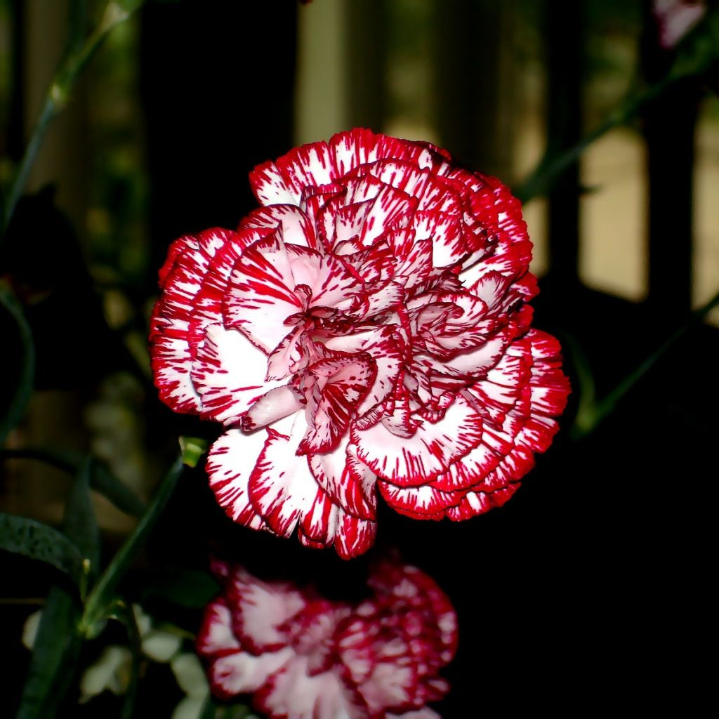 1024x1024 Wallpaper carnations, flowers, colorful, close-up | T ...