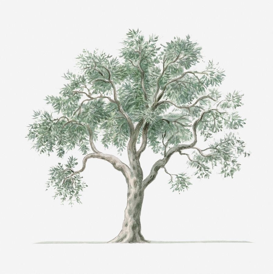 olive tree drawing - Google Search | Ink | Pinterest | Google ...