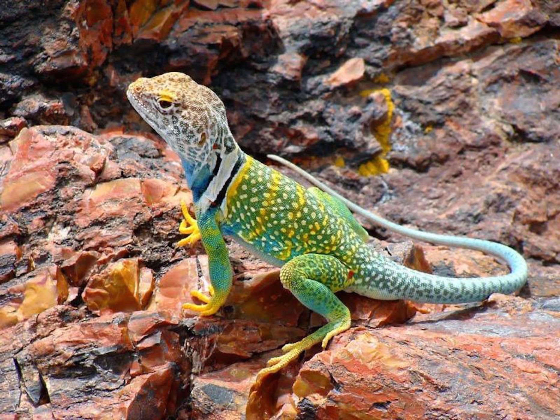 In Photos: Flashy Collared Lizards of the North American ...