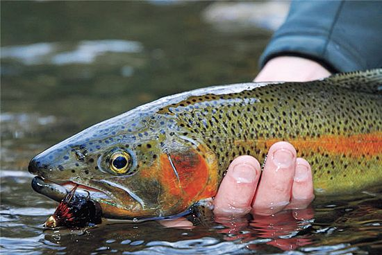 how to catch salmon trout