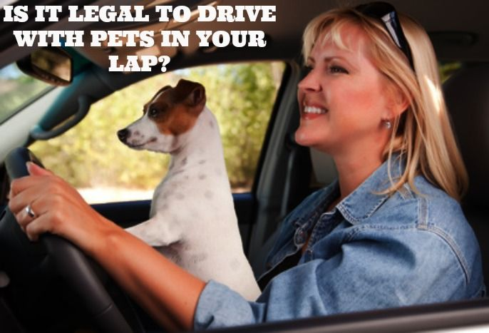 Is It Legal To Drive With Pets In Your Lap Dogs Dog Spa Pets