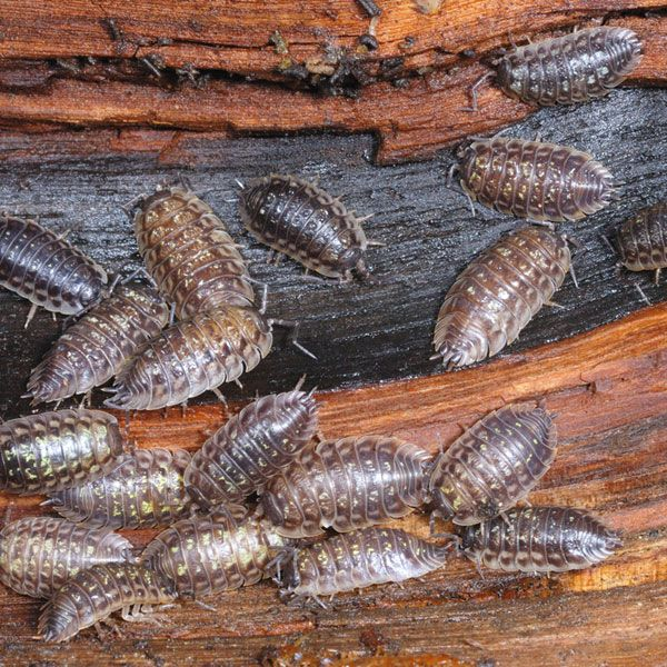 How To Get Rid Of Sow Bugs In Your Home
