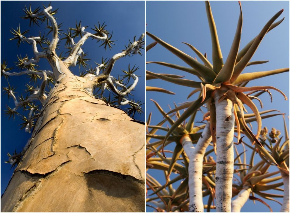 From baobabs to monkey puzzles, things aren't looking too good for these eccentric tree species.