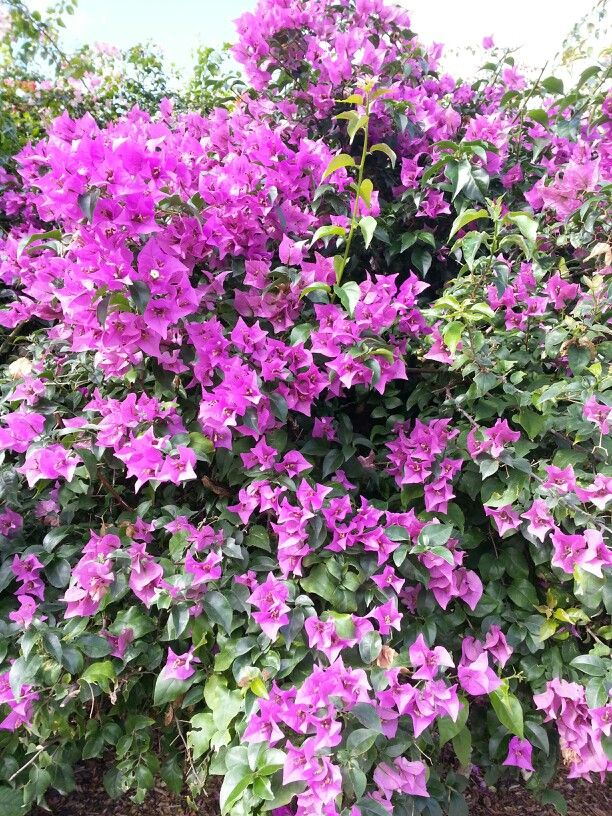 Bougainvilleas Bougainvillea Glabra Are One Of The Most Popular
