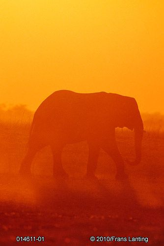 african elephant- Frans Lanting