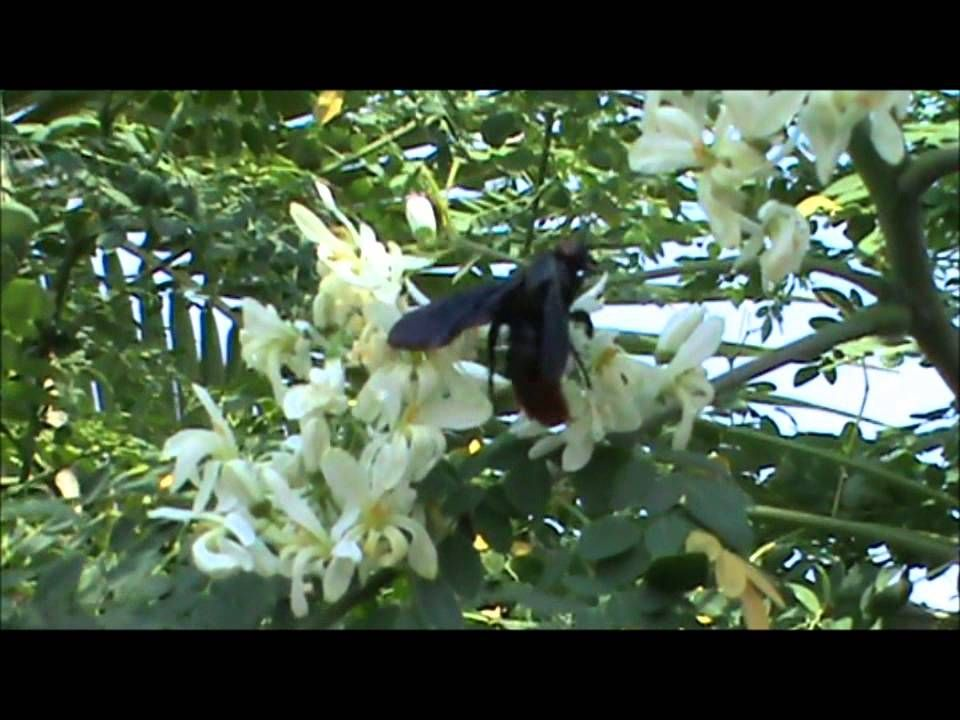Moringa Flowers Being Pollinated By A Giant Bee Moringa Miracle Tree Flowers