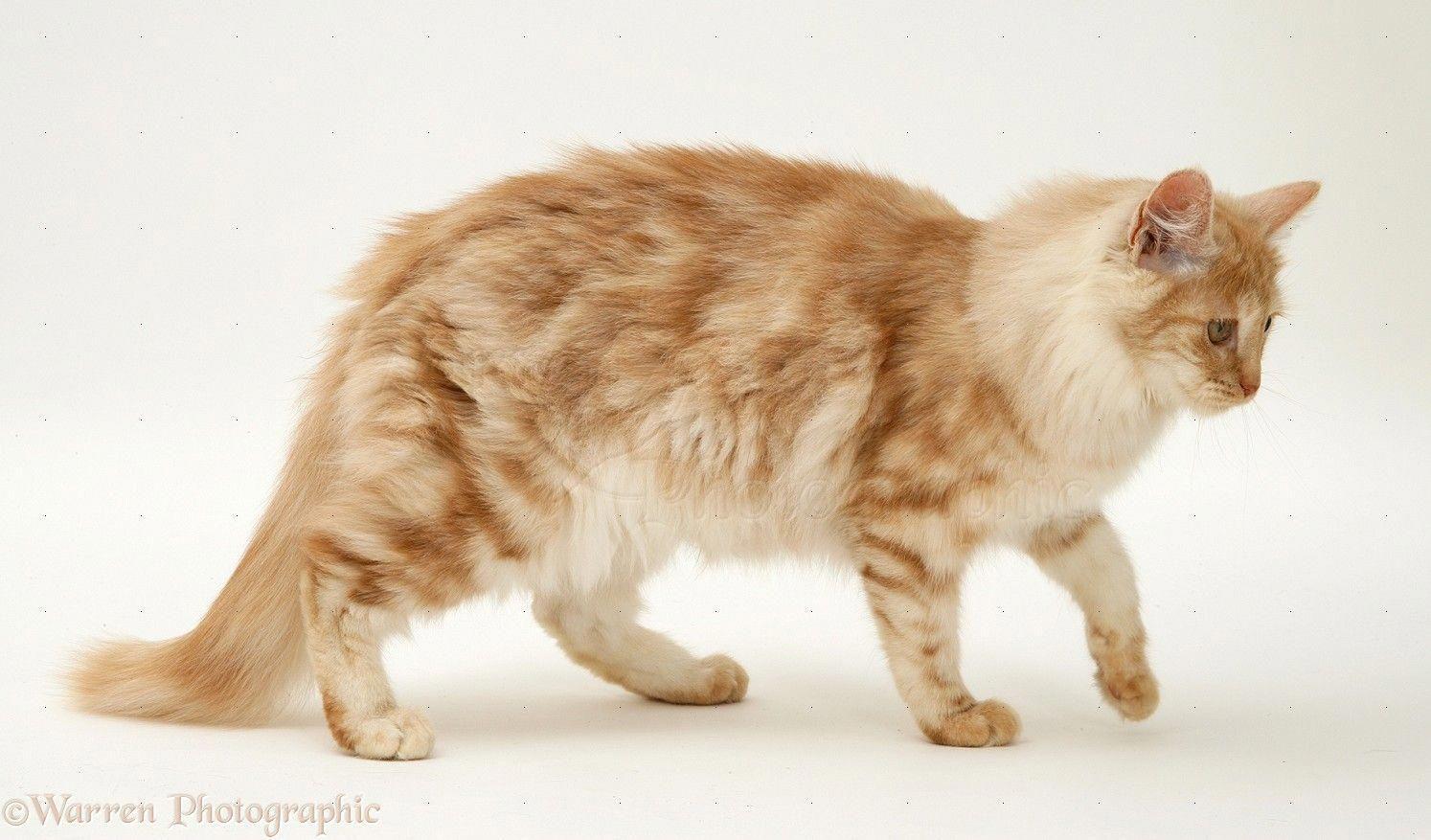 Red Silver Turkish Angora Cat Angoracats Teacup Cats Angora