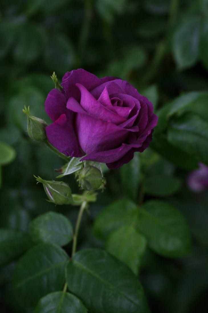 Dark Purple Rose 02 By Nexu4 On Deviantart Purple Roses Dark
