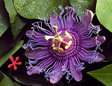 Http Www Zone9tropicals Com Images Stock Passiflora Incense Jpg Passiflora Violet Flower Passion Flower