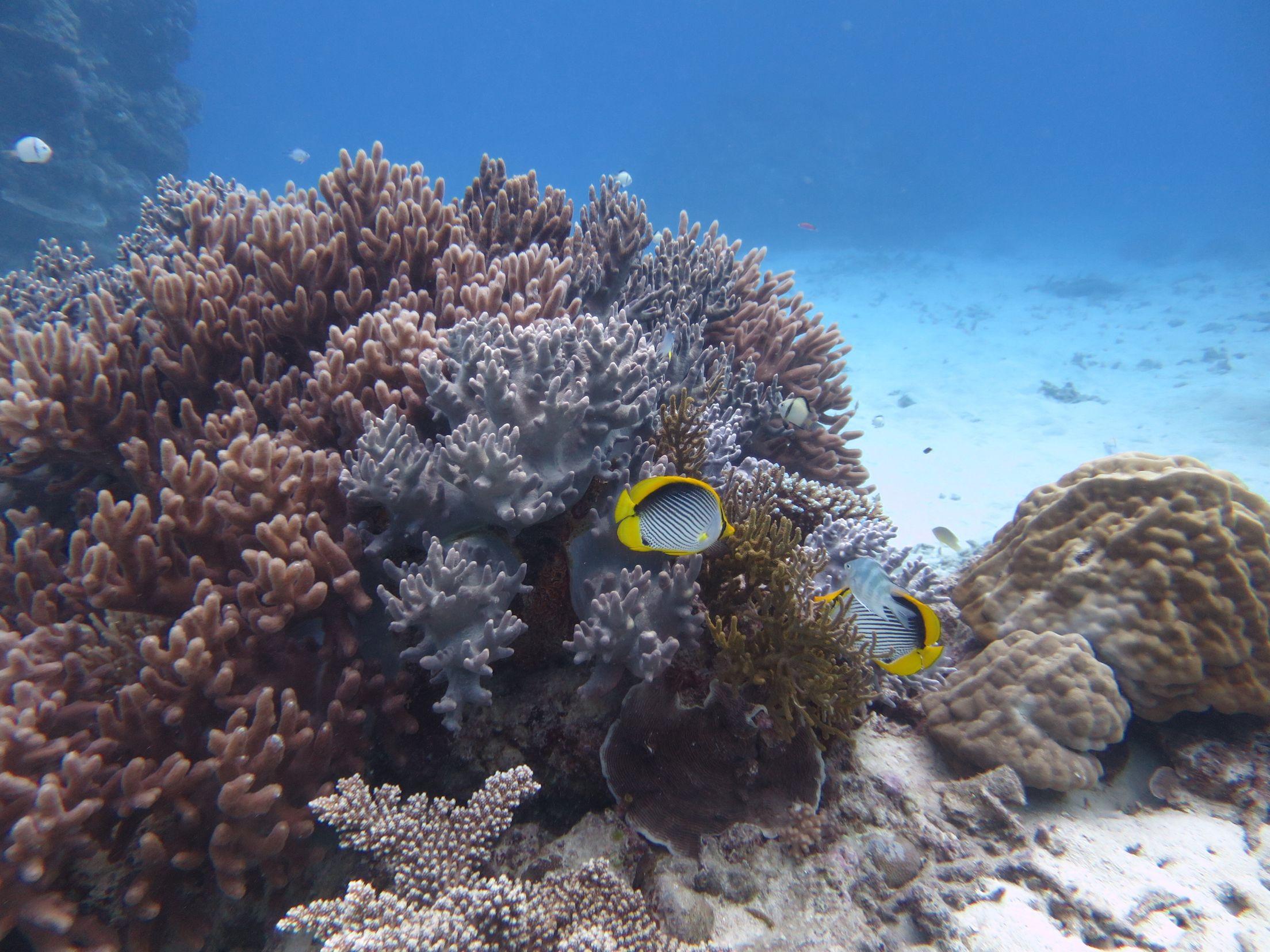 Great Barrier Reef Australia 2015 - Butterfly Fish