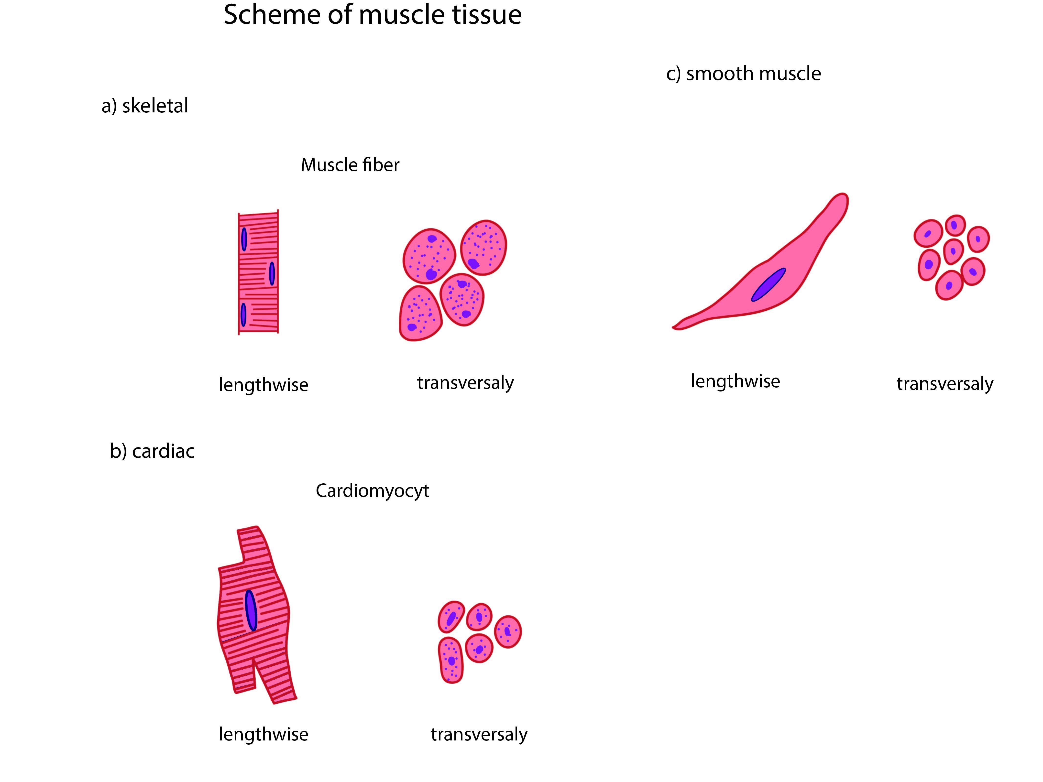 Human Muscle Cell Diagram Human Muscle Cell Diagram 5