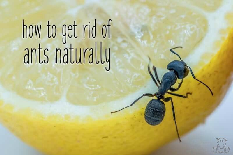 How To Get Rid Of Ants Naturally Tips For The Kitchen