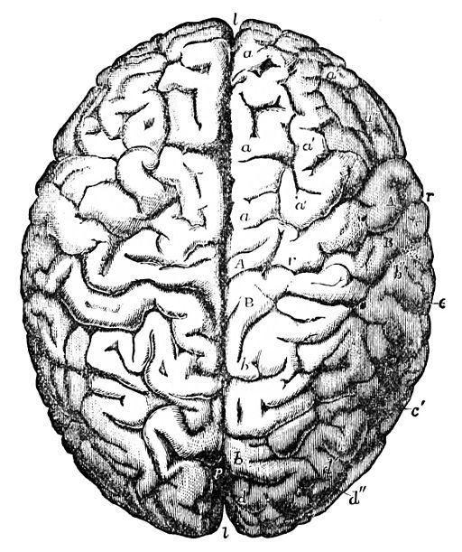 Brain Drawing Top View Brain Top View Black And White