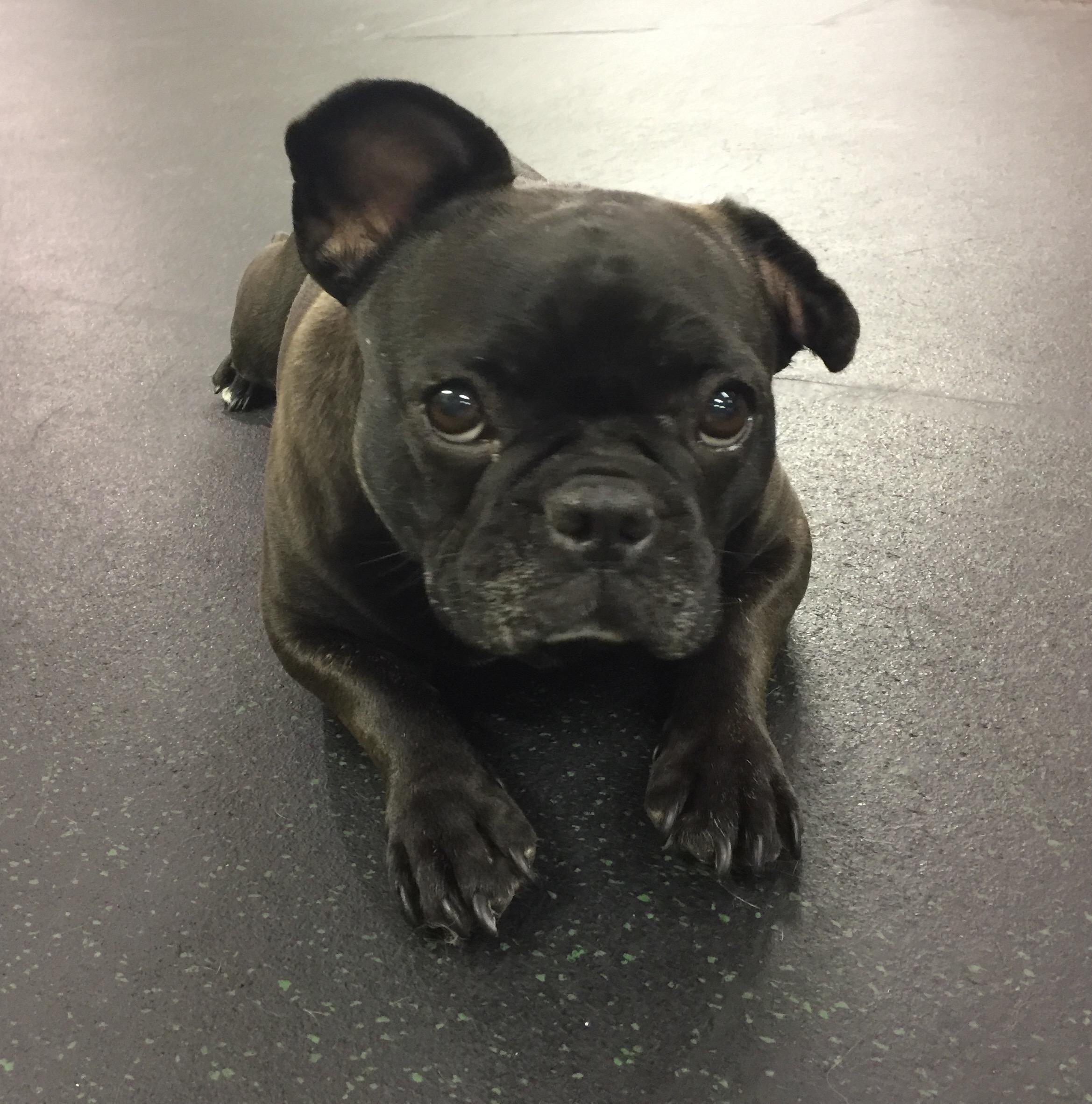 Adopt Carly on French bulldog for adoption, Dog adoption