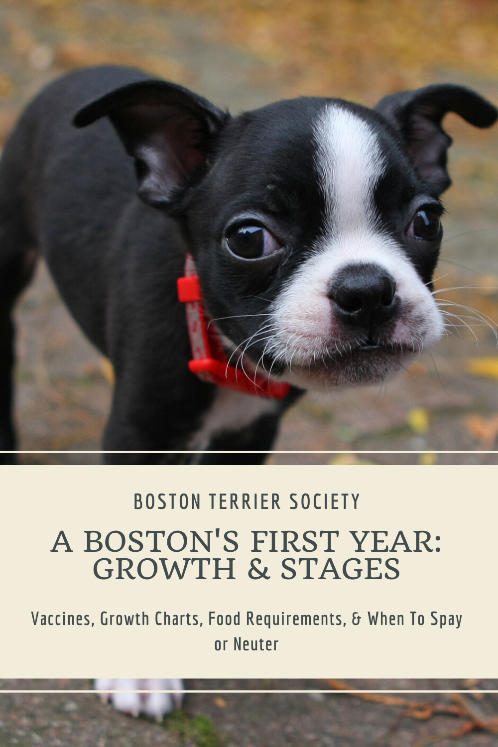 A Boston S First Year Stages Of Growth Puppy Development Boston Terrier Society In 2020 Boston Terrier Boston Terrier Funny Boston Terrier Puppy