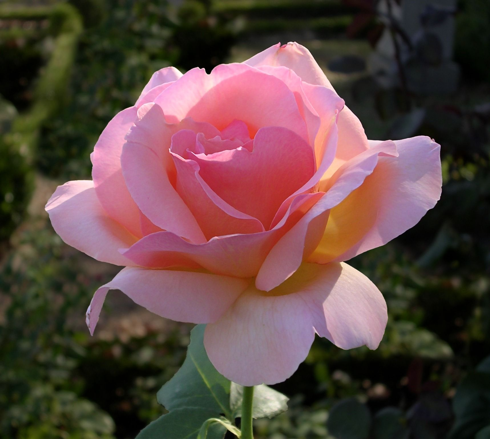 Http Upload Wikimedia Org Wikipedia Commons C C2 Rose Oliv Jpg Amazing Flowers Flower Pictures Beautiful Roses