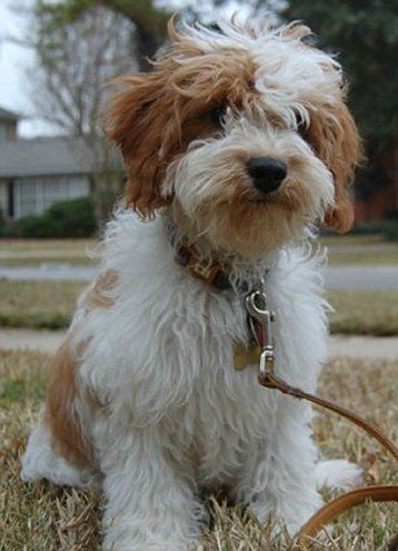 Cute Mixed Fluffy Puppy With Images Cavachon Puppies Poochon Dog Cute Dog Mixes