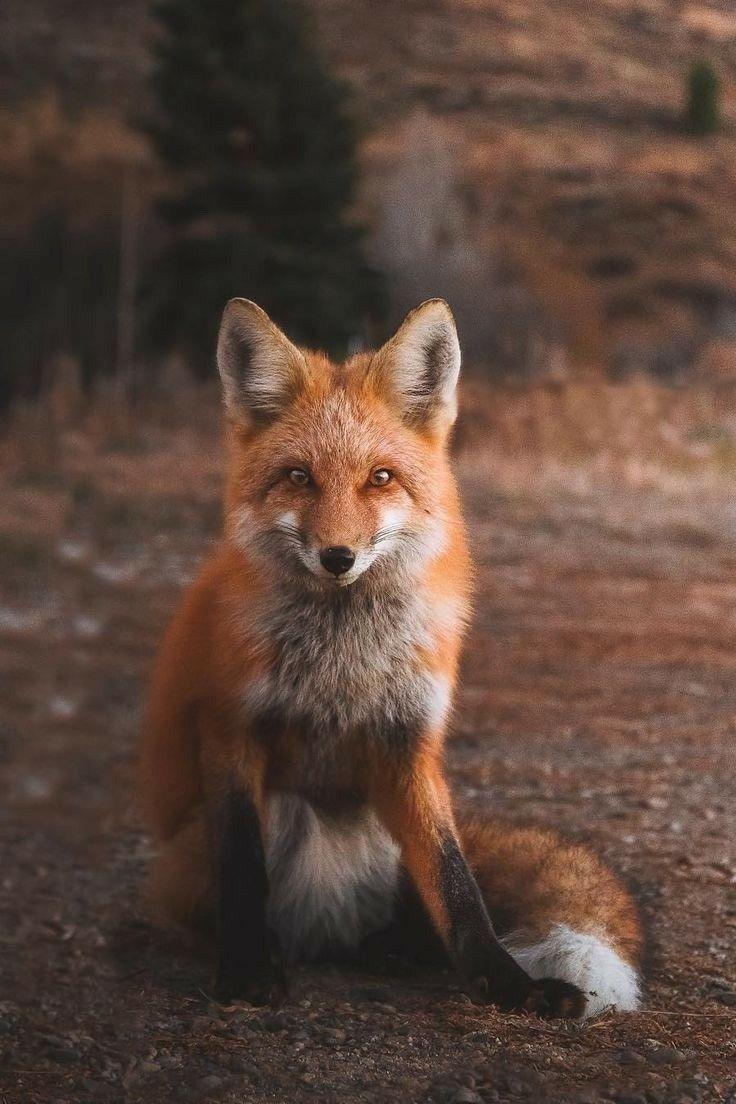 Pin by Николай Александрович on ЛИСА. Pet fox, Cute fox