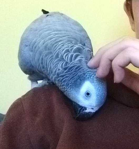 Rehomed African Grey Parrot Bird Pudsey Leeds West Yorkshire England United Kingdom F31260 Find Pets Parrot Pet Dogs