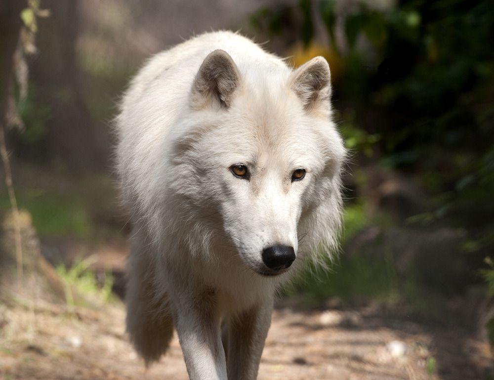 Arctic Wolf by Rosemarie Dorries   Photo To Art Guy