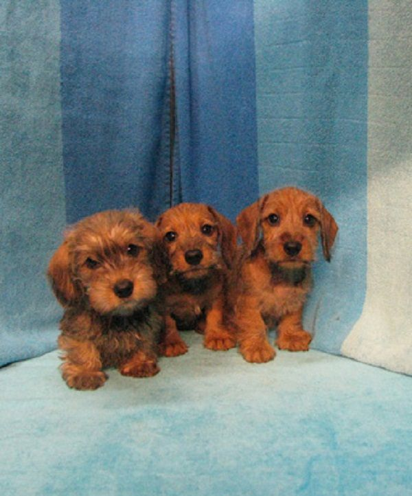 mini wire haired dachshund puppies | Zoe Fans Blog Loving the cute ...