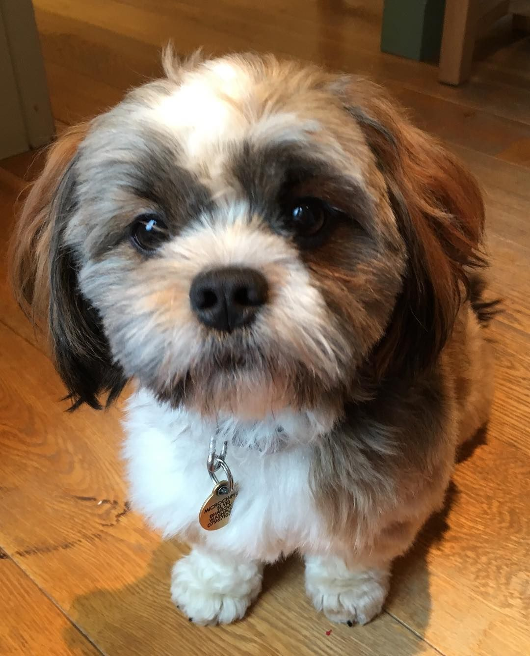 All About The Maltese Shih Tzu Mix Malshi Facts Information How To Train Your Dog Maltese Shih Tzu Maltese Breed Shih Tzu Mix