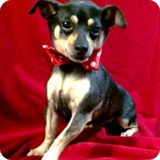 Hudson Nh Dachshund Chihuahua Mix Meet Carny A Dog For Adoption Dog Adoption Chihuahua Mix Kitten Adoption