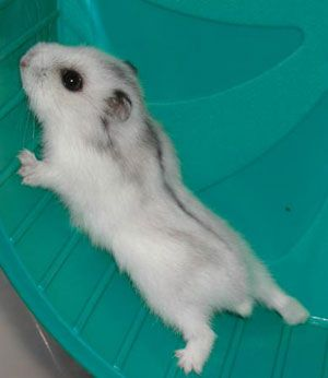 Black And White Dwarf Piglets White Russian Dwarf Hamster