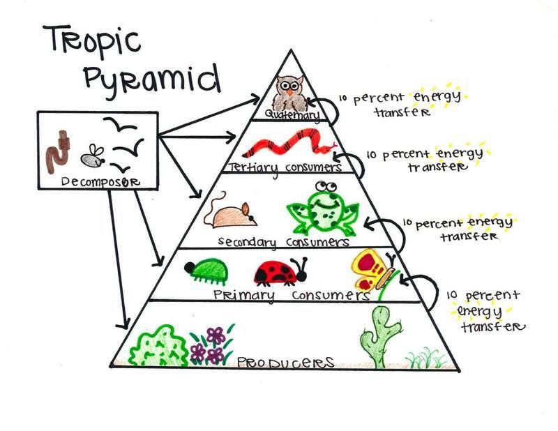 Energy pyramid | 4th grade Science | Energy projects, Energy