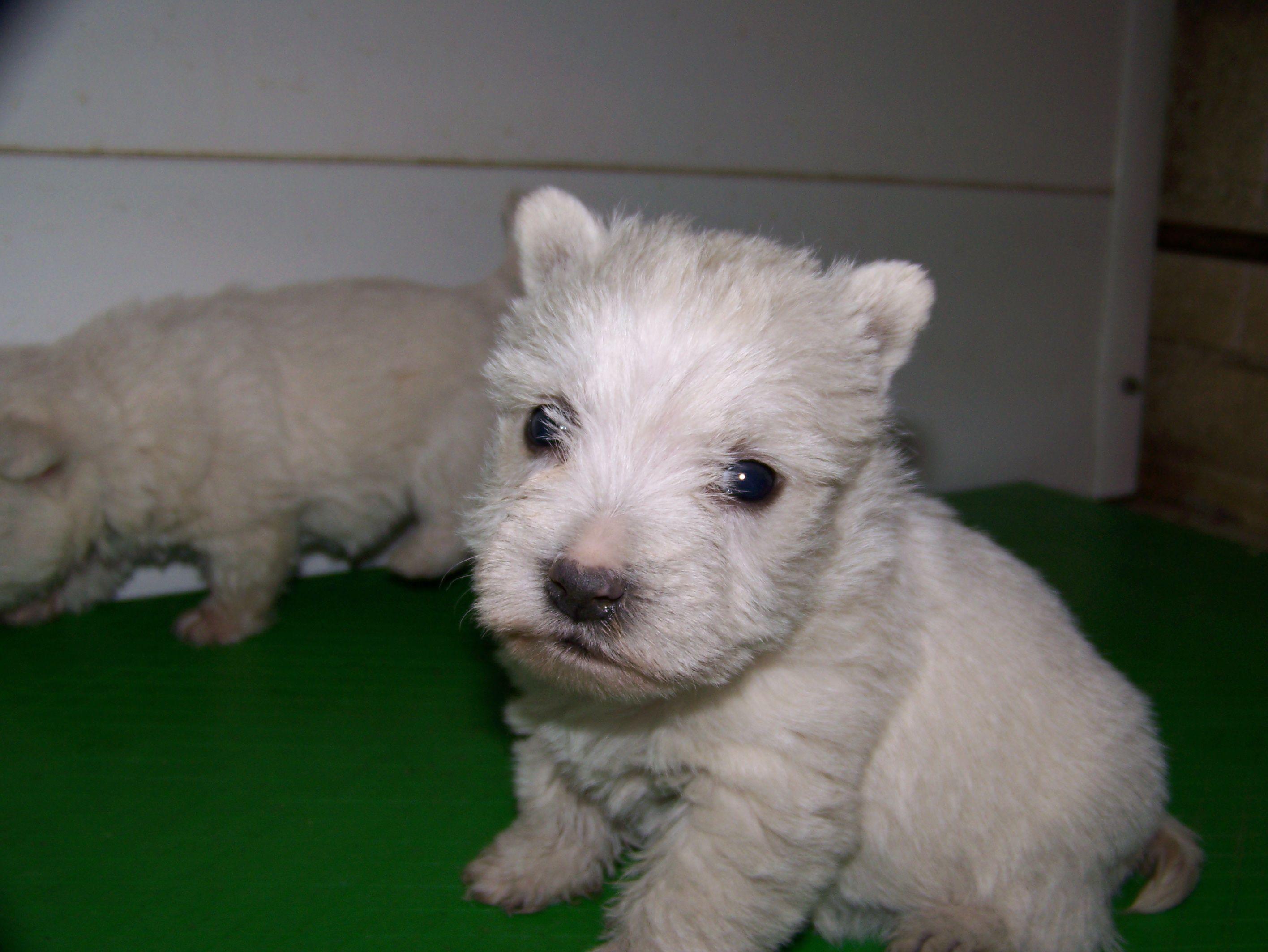 perro cachorro de raza west highland white terrier, también conocido ...