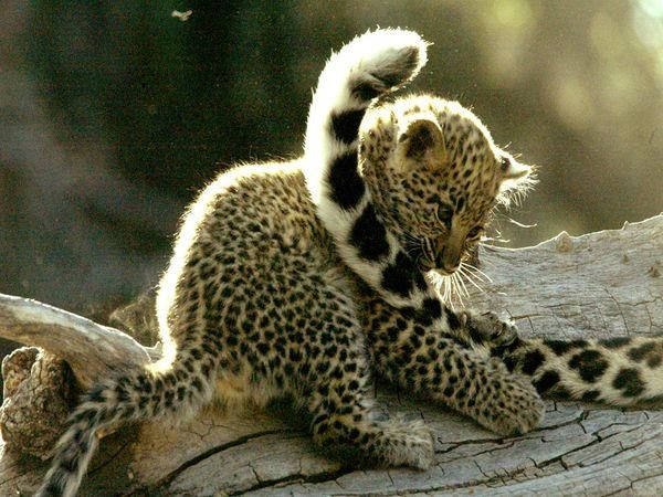 Leopard Cub Playing With Mother's Tail