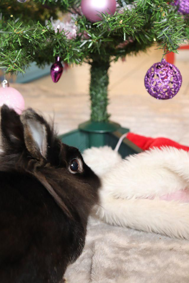 Ready for Christmas -Rabbit Bunny tips care and ideas! #rabbitlovers